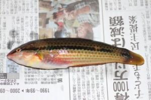 2011.9.10 和田長浜海岸 釣果