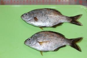 三崎港白灯 2012.6.23 釣果 ウミタナゴ