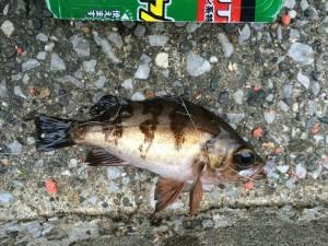 メバル 2014.10.3 福浦岸壁 釣果