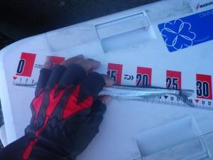 サヨリ3 2015.12.5 福浦岸壁テトラ 釣果