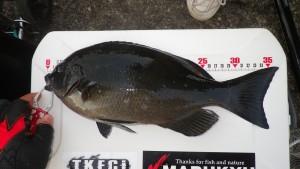 メジナ 36cm 2016.1.23 釣果