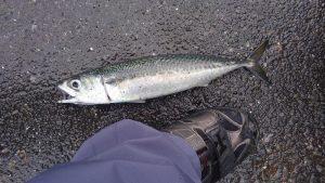 サバ 38cm 福浦岸壁 釣果