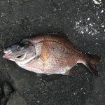 ウミタナゴ 2017.9.16 城ケ島